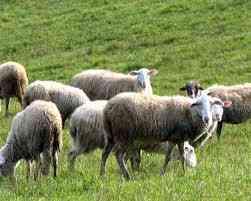 Regno Unito: allevamento britannico e fornitura di agnelli per Qurbani